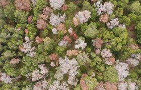 Как дроны могут спасти погибающие гавайские леса