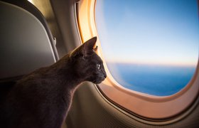 В России предложили ввести единые нормы перевозки котов в самолетах