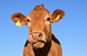 В Британии появилось приложение в стиле Tinder для поиска пары для коров