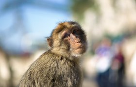 Neuralink научил обезьяну играть в видеоигры
