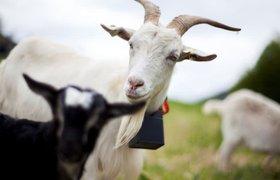 Норвежский стартап делает «умные ошейники» для животных на фермах