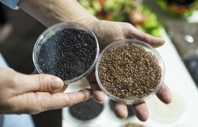 Перегнать Азию и сделать россиян долгожителями: как в Краснодаре выращивают рис-суперфуд