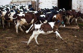 Социальная сеть для коров привлекла 25 млн инвестиций