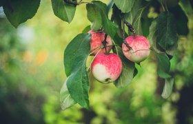 Российские учёные создали умного робота для сбора яблок на основе искусственного интеллекта