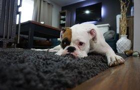 Гаджеты, игрушки и даже фильмы для питомцев: как хозяева собак готовятся к возвращению в офис