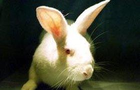 Китайский кролик-клон