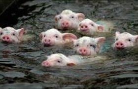 Гимн Федерации спортивного свиноводства