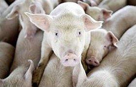 От свиного гриппа могут погибнуть 7 млн человек во всем мире
