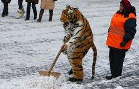 Тигр убираетс снег
