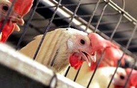 В 2010 году Россию ждет дефицит курятины