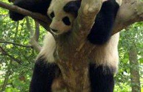 Панда после праздников