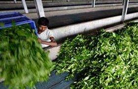 Цены на индийский чай вырастут