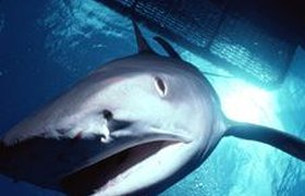 Вторую акулу поймали в прибрежных водах Красного моря. ВИДЕО
