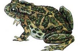 Довольная жаба