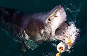 Нашествие акул не повлияло на поток туристов в Египет. ВИДЕО