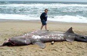 Пьяный турист случайно раздавил акулу в Египте