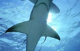 Египет хочет защитить туристов от акул с помощью электромагнитного щита