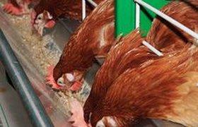 Акционеры решили за рубль продать птицефабрику, уничтожавшую цыплят. ВИДЕО