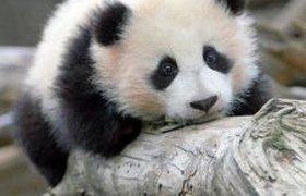 Панда веселится