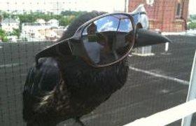 Ворона-позер