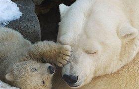 У белой медведицы Симоны в Московском зоопарке родились медвежата