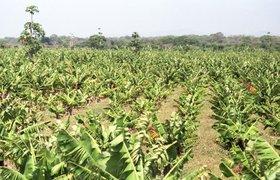 Часть долга ВТБ компания Кехмана вернула банановой плантацией