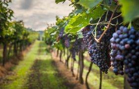 Виноделы столкнулись со сложностями получения лицензий на некоторые виды напитка