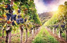 Французские нефтяники создадут экологически чистое топливо на основе вина