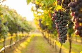 «Абрау-Дюрсо» планирует производить косметику из виноградных косточек