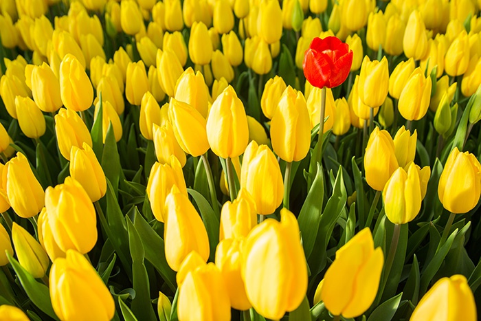 Желтые тюльпаны и один красный
