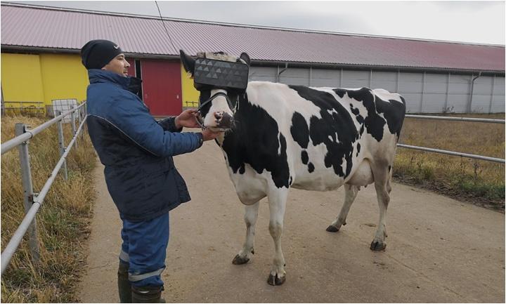 В Подмосковье протестировали VR-очки для коров